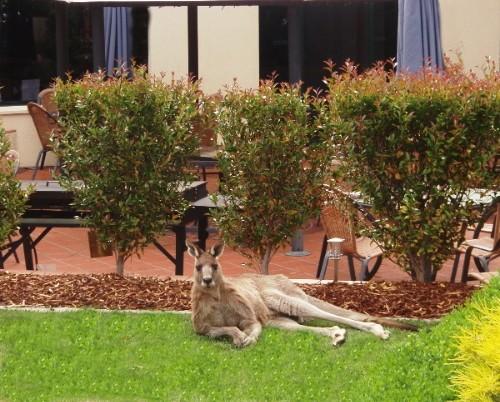 Alpha Canberra - Resident Kangaroo